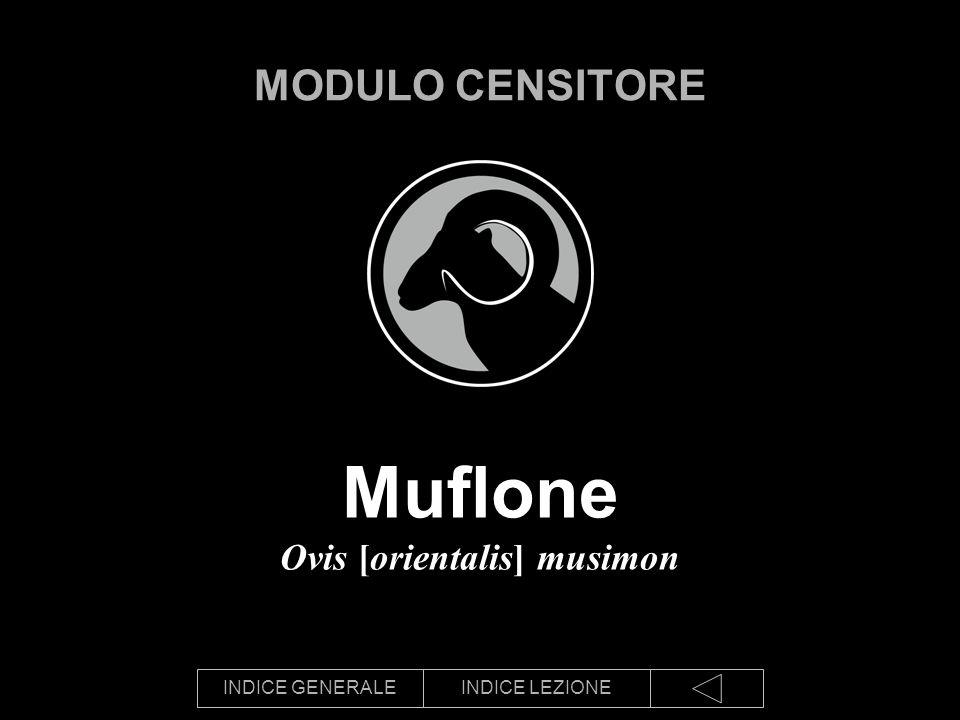 Muflone Ovis [orientalis] musimon